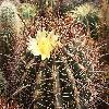 FerocactusAcanthodes2.jpg 1077 x 912 px 631.19 kB