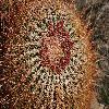 FerocactusCylindraceus20.jpg 1201 x 804 px 366.24 kB