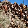 FerocactusCylindraceus5.jpg 1201 x 804 px 342.46 kB