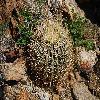 FerocactusCylindraceus6.jpg 1201 x 804 px 364.05 kB