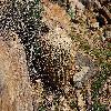 FerocactusCylindraceus8.jpg 1201 x 804 px 422.78 kB