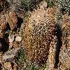 FerocactusCylindraceus9.jpg 1201 x 804 px 379.12 kB