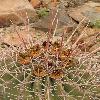 FerocactusRectispinus.jpg 600 x 903 px 423.15 kB