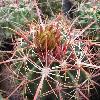 FerocactusViridescens.jpg 905 x 845 px 164.02 kB