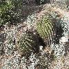 FerocactusWislizeni10.jpg 1012 x 759 px 310.03 kB