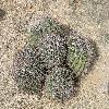 FerocactusWislizeni11.jpg 1012 x 759 px 298.23 kB