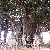 Ficus2.jpg 576 x 768 px 149.85 kB