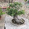 Ficus4.jpg 576 x 768 px 173.51 kB