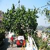 Ficus5.jpg 1110 x 833 px 274.09 kB