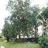 Ficus7.jpg 1118 x 838 px 277.04 kB