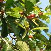 FicusAltissima2.jpg 480 x 640 px 128.86 kB
