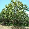 FicusAltissima.jpg 640 x 480 px 127.46 kB
