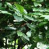 FicusAspera2.jpg 681 x 908 px 367.9 kB