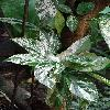 FicusAspera3.jpg 720 x 960 px 363.77 kB