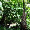 FicusAspera.jpg 681 x 908 px 414.33 kB