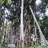 Ficus.jpg 1024 x 768 px 262.04 kB