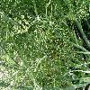 FoeniculumVulgare2.jpg 1127 x 845 px 314.85 kB