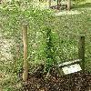 ForestieraNeomexicana2.jpg 630 x 840 px 199.82 kB