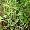ForestieraNeomexicana3.jpg 1127 x 845 px 205.79 kB