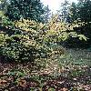 FortuneariaSinensis.jpg 720 x 960 px 523.03 kB