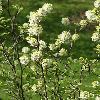FothergillaGardenii3.jpg 720 x 960 px 350.01 kB