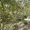 FrangulaAlnusAngustifolia.jpg 1127 x 845 px 319.14 kB