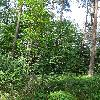 FrangulaAlnus.jpg 681 x 908 px 526.02 kB