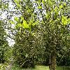 FraxinusExcelsior5.jpg 1120 x 840 px 328.15 kB