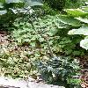 FraxinusExcelsiorCrispa.jpg 630 x 840 px 164.61 kB