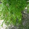 FraxinusExcelsiorJaspidea.jpg 1024 x 768 px 259.12 kB