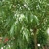 FraxinusPensylvanicaAucubifolia3.jpg 1127 x 845 px 248.73 kB