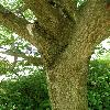 FraxinusPensylvanicaAucubifolia4.jpg 630 x 840 px 157.54 kB