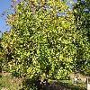 FraxinusPensylvanicaAucubifolia.jpg 1024 x 768 px 380.82 kB