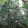 FreycinetiaCumingiana.jpg 720 x 960 px 464.14 kB