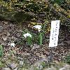 GalanthusNivalisHortensis.jpg 720 x 960 px 428.03 kB