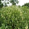 GaleopsisSpeciosa.jpg 1127 x 845 px 287.17 kB