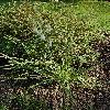 GaltoniaCandicans.jpg 596 x 839 px 235.83 kB