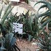 GasteriaAcinacifolia.jpg 1024 x 768 px 195.53 kB