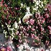 Gaultheria2.jpg 1127 x 845 px 229.58 kB