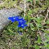 Gentiana4.jpg 555 x 839 px 163.25 kB