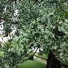 GinkgoBiloba2.jpg 1127 x 845 px 270.26 kB