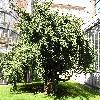 GinkgoBilobaPraga.jpg 1024 x 768 px 289.98 kB