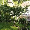 GinkgoBilobaPragensis.jpg 1024 x 768 px 262.66 kB