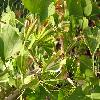 GinkgoBilobaVariegata.jpg 1024 x 768 px 158.95 kB