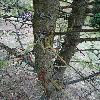 GleditsiaCaspica4.jpg 720 x 960 px 419.18 kB