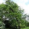 GleditsiaTriacanthos10.jpg 681 x 908 px 445.35 kB