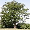GleditsiaTriacanthos11.jpg 634 x 845 px 170.59 kB