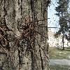 GleditsiaTriacanthos12.jpg 1132 x 849 px 255.39 kB