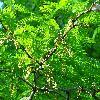 GleditsiaTriacanthos13.jpg 1167 x 875 px 324.18 kB