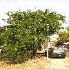 GleditsiaTriacanthos3.jpg 576 x 768 px 159.98 kB